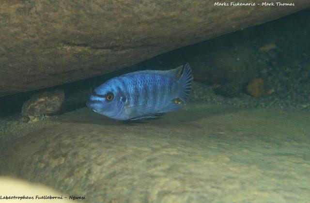 Labeotropheus fuelleborni Ngwazi (samec)
