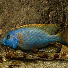 Buccochromis rhoadesi