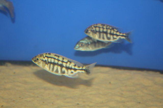 Protomelas taeniolatus Nkhata Bay (samice)