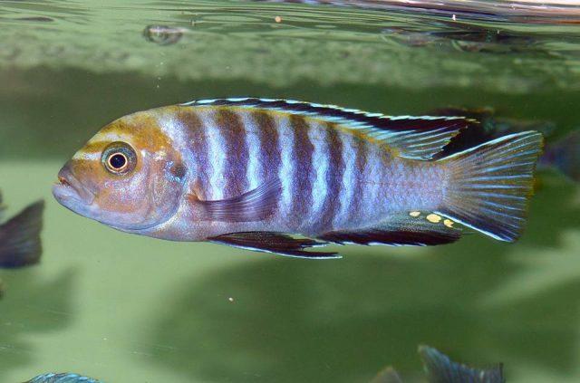 Cynotilapia sp. 'lion' Lupingu (samec)