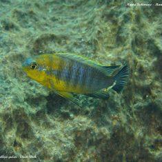 Tropheops sp. 'yellow gular'