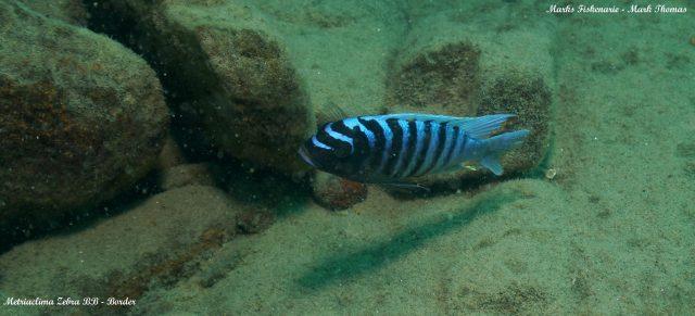 Metriaclima zebra (12)