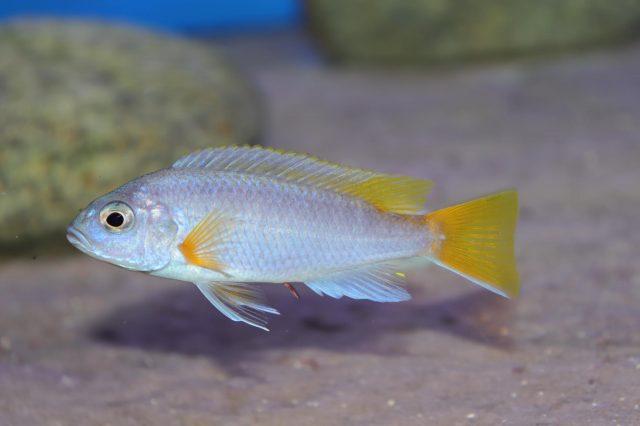 Pseudotropheus sp. 'acei' Luwala Reef (samec)