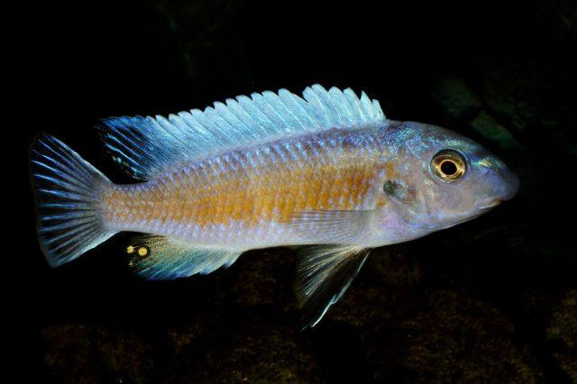 Labeotropheus trewavasae Manda (samec)