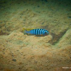 Metriaclima sp. hajomaylandia