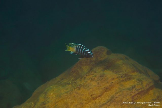 Metriaclima sp. 'zebra yellow tail' Manda