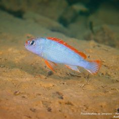 Pseudotropheus sp. 'perspicax'
