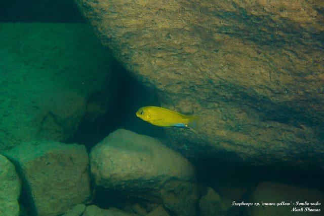Tropheops sp. 'mauve yellow' Pombo Rocks