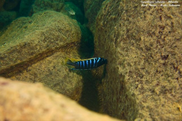 Cynotilapia zebroides Mbamba Reef