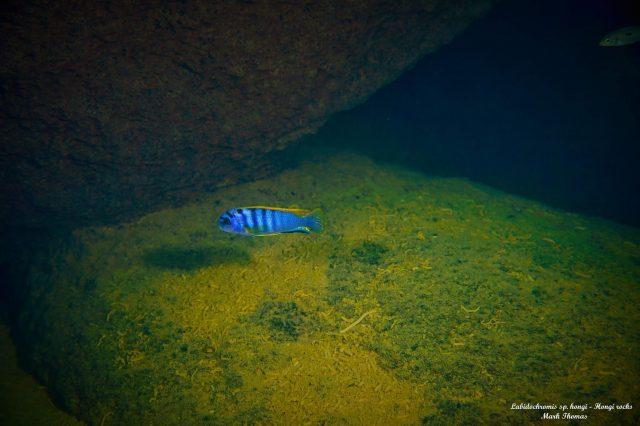 Labidochromis sp. ,hongi'