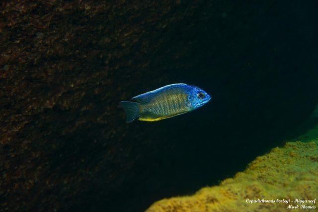 Copadichromis borleyi Higga Reef (samec)
