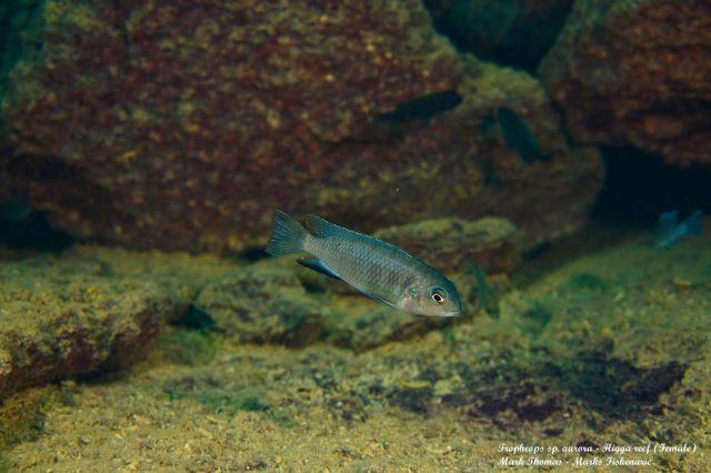 Tropheops sp. 'aurora' Higga Reef (samice)