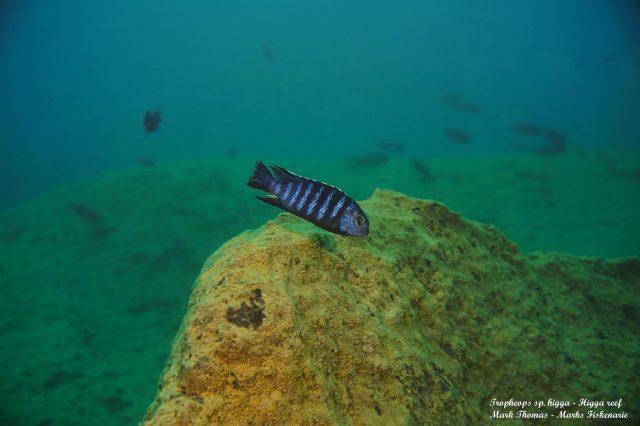Tropheops sp. 'higga' Higga Reef (samec)
