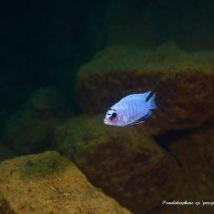 Pseudotropheus sp. ,perspicax'