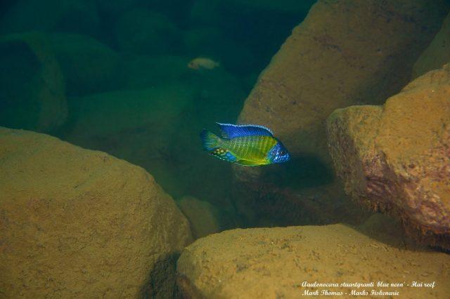Aulonocara stuartgranti Hai Reef (samec)