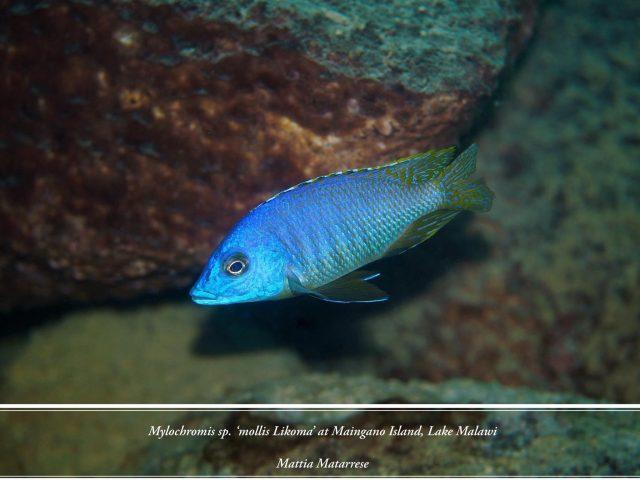 Mylochromis sp. 'mollis likoma'