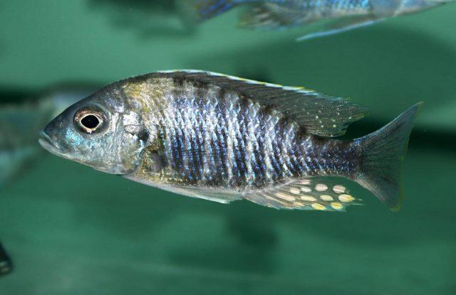 Aulonocara sp. 'yellow collar' Masasa Reef