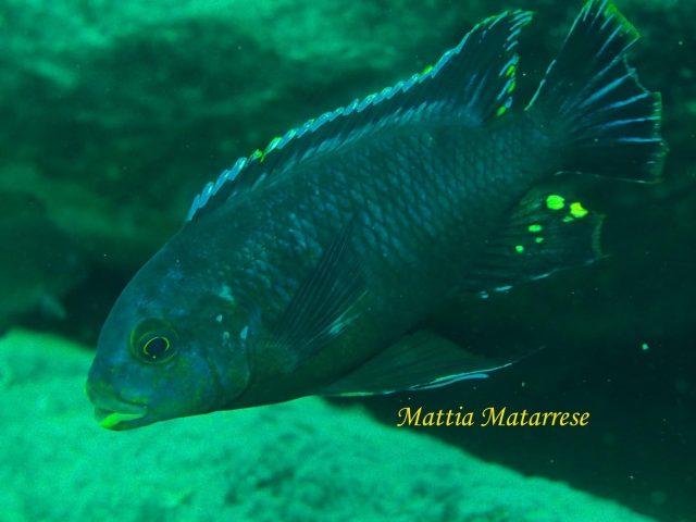 Petrotilapia sp. 'fuscous'
