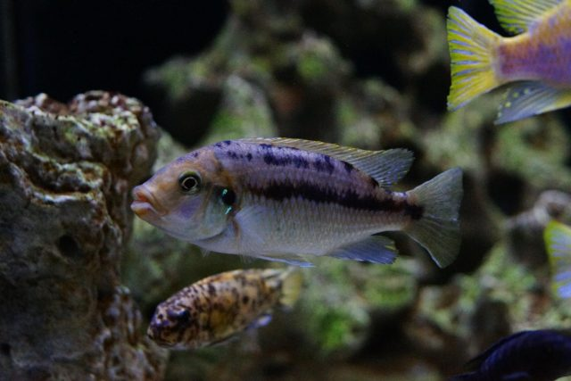 Petrotilapia flaviventris Undu Reef (samice)