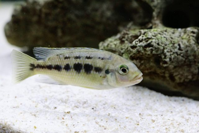 Petrotilapia genalutea Makokola Reef