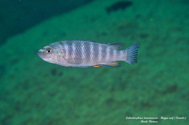 Labeotropheustrewavasae (samice)