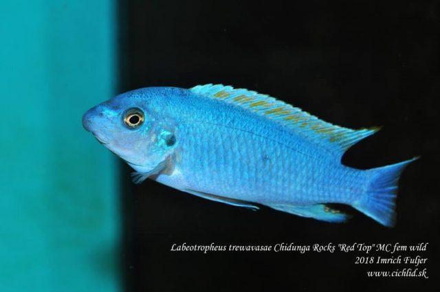 Labeotropheus trewavasae
