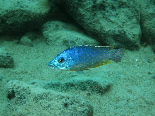 Protomelas ornatus Katale Island (samec-male)