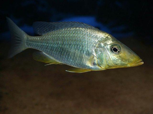 Taeniolethrinops praeorbitalis Mdoka Reef