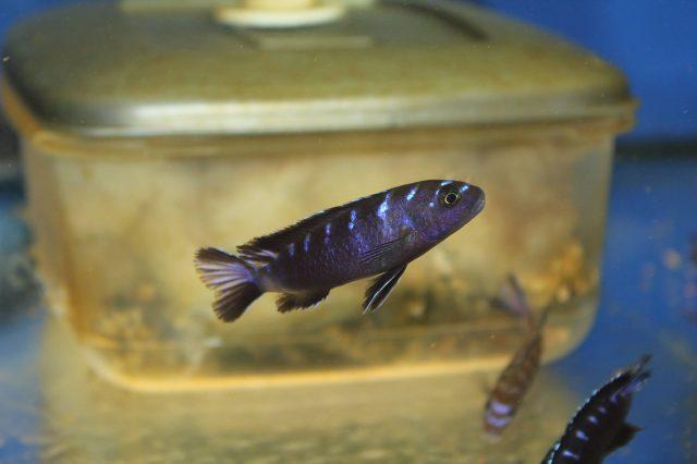 Chindongo sp. 'elongatus ruarwe' (samec)