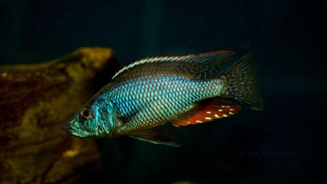 Dimidiochromis strigatus (samec)