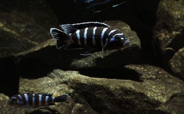 Chindongo demasoni Pombo Rock (samec a samice)