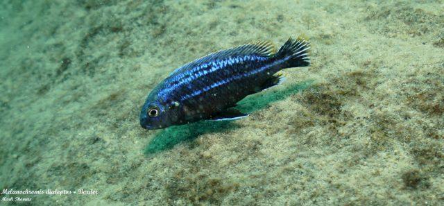 Melanochromis dialeptos
