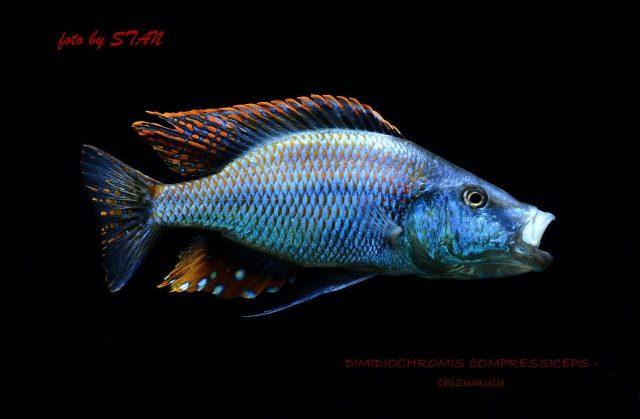 Dimidiochromis compressiceps (samec)