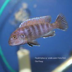 Pseudotropheus sp. ,variable'