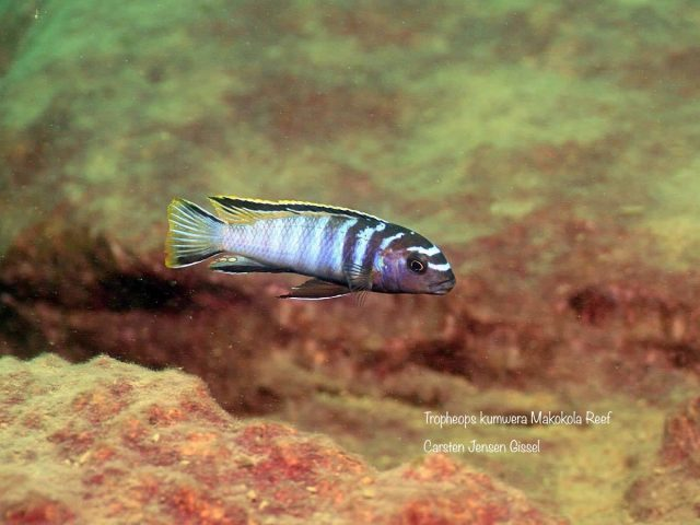 Tropheops kumwera Makokola Reef (samec)