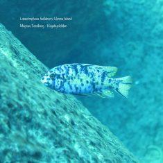 Labeotropheus fuelleborni (10)