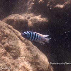 Metriaclima zebra (19)