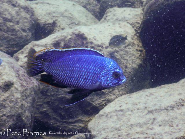 Protomelas dejunctus Chinyamwezi Island