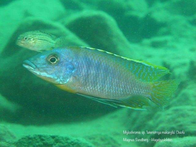Mylochromis sp. ,lateristriga makanjila'ChiofuBay