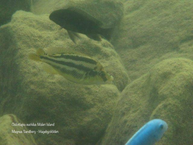 Chilotilapia euchilus