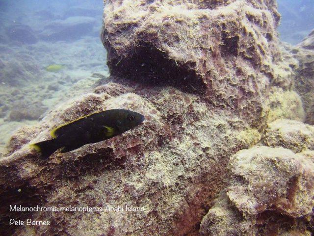 Melanochromis melanopterus