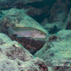 Genyochromis mento