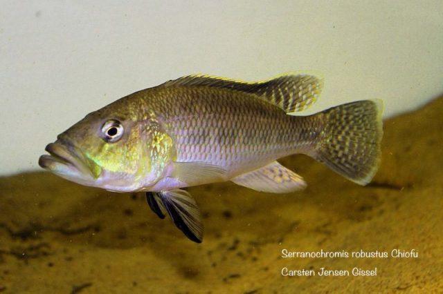 Serranochromis robustus Chiofu
