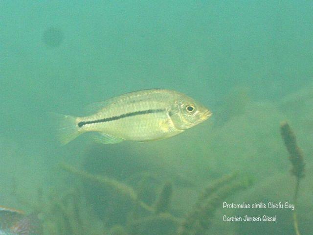 Protomelas similis Chiofu Bay