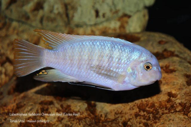 Labeotropheus fuelleborni Chimwalani Reef