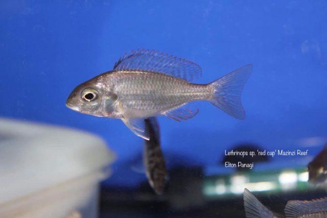 Lethrinops sp. 'red cap tsano' Mazinzi Reef (samice)