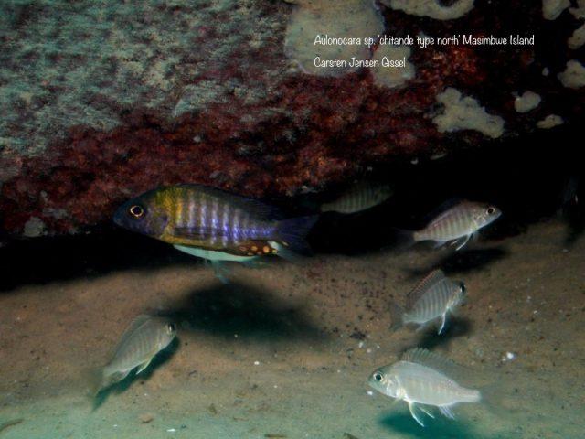Aulonocara sp. 'chitande type north' Masimbwe Island