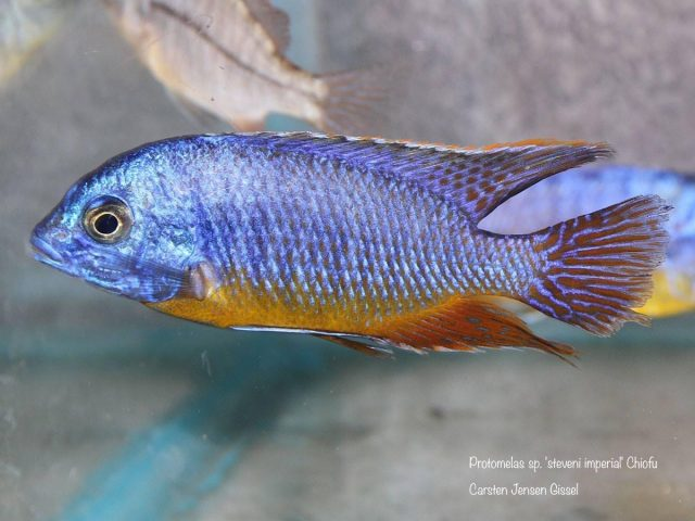 Protomelas sp. 'steveni imperial' Chiofu