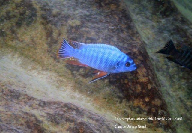 Labeotropheus artatorostris (samec)
