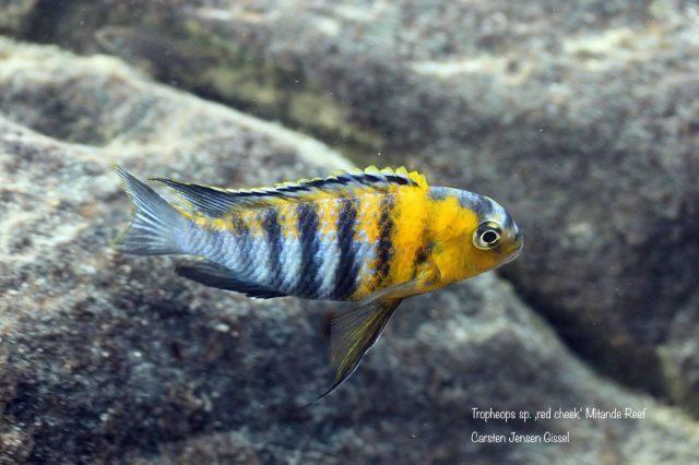 Tropheops sp. 'red cheek' Mitande